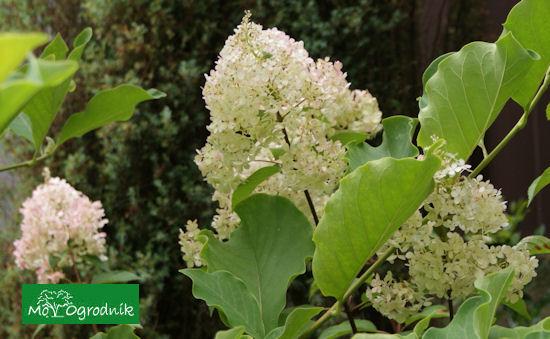 Hortensja bukietowa (łc. Hydrangea paniculata)