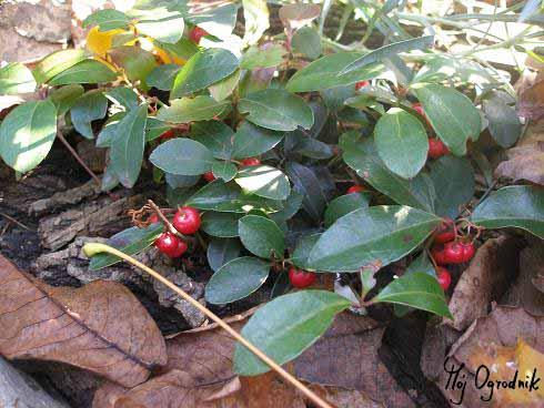 Golteria pełzająca (łc. Gaultheria procumbens)