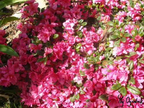Azalia japońska (łc. Rhododendron japonicum)