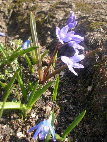 Śnieżnik lśniący (łc. Chionodoxa luciliae)