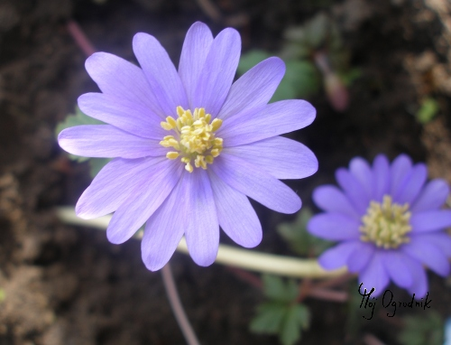 Zawilec grecki (łc. Anemone blanda)