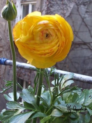 Jaskier azjatycki (łc. Ranunculus asiaticus)