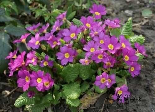Pierwiosnek bezłodygowy (łc. Primula vulgaris)