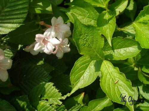 Krzewuszka cudowna (łc. Weigela florida)