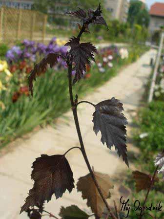 Brzoza brodawkowata (łc. Betula pendula)