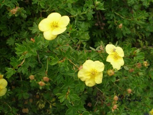 Pięciornik  krzewiasty (łc. Potentilla fruticosa)