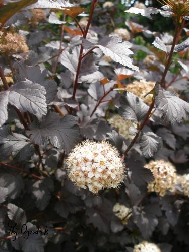 Pęcherznica kalinolistna (łc. Physocarpus opulifolius)