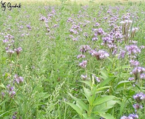 Facelia błękitna (łc. Phacelia tanacetifolia Benth)